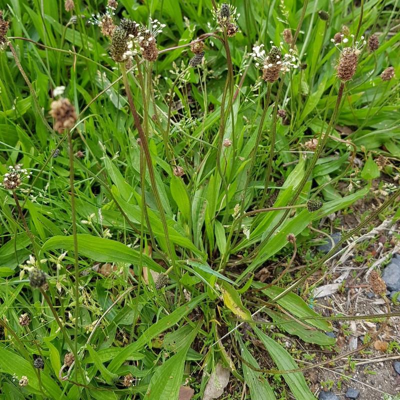 Plantago lanceolata Semences du Puy