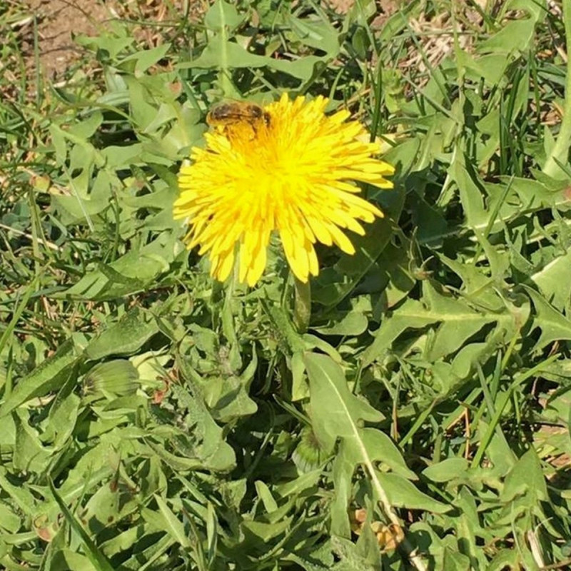 Taraxacum officinalis Semences du Puy