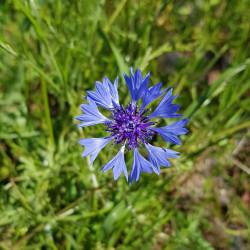Centaurea cyaneus Semences du Puy