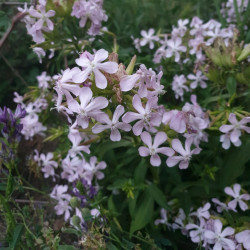 Saponaria officinalis Semences du Puy