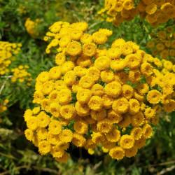 Tanacetum vulgare Semences du Puy