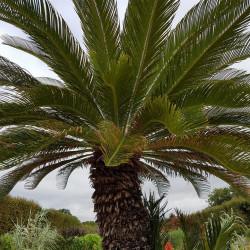 Cycas revoluta Semences du Puy