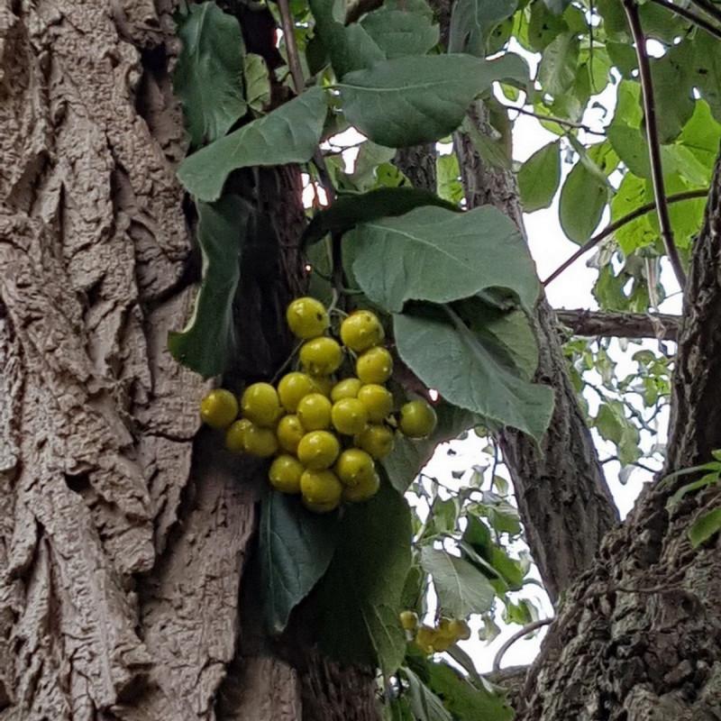 Ehretia dicksonii Semences du Puy