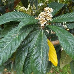 Eriobotrya japonica Semences du Puy