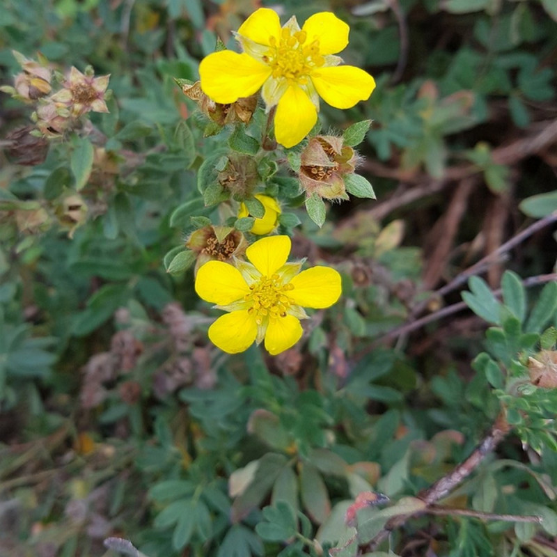 Potentilla fruticosa Semences du Puy