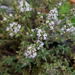 Thymus vulgaris Semences du Puy
