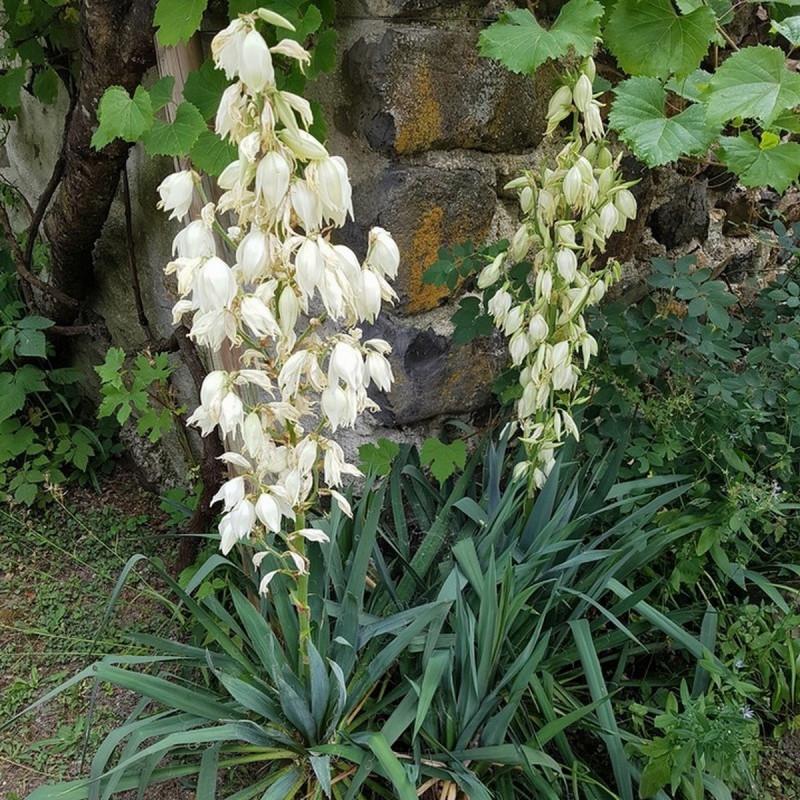 Yucca filamentosa Semences du Puy