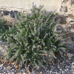 Rosmarinus officinalis Semences du Puy