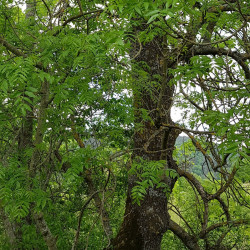 Fraxinus excelsior Semences du Puy
