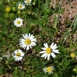 Matricaria chamomilla Semences du Puy