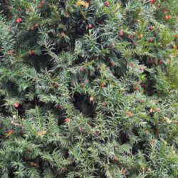 Taxus baccata Semences du Puy