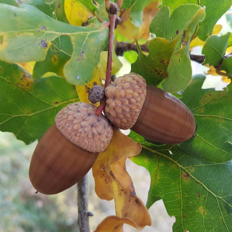 Quercus robur Semences du Puy