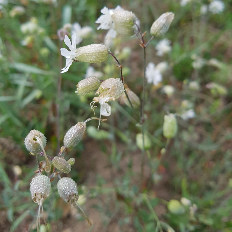 Silene vulgaris Semences du Puy