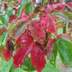 Acer griseum Semences du Puy