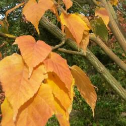 Acer capillipes Semences du Puy