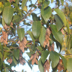 Carpinus viminea (fargesii) pour semences du puy