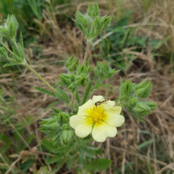 Potentilla recta Semences du Puy