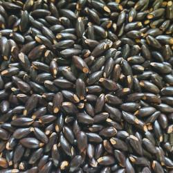 Graines de Hamamelis virginiana Semences du Puy