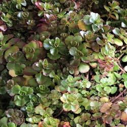 Sedum spurium coccineum Semences du Puy