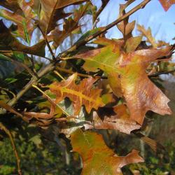 Chêne à écorce de Cerisier