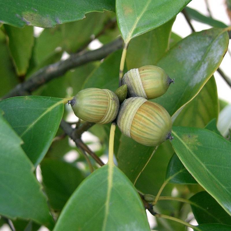 Quercus Glauca de KENPEI, CC BY-SA 3.0, via Wikimedia Commons