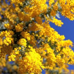 Acacia baileyana - Mimosa...