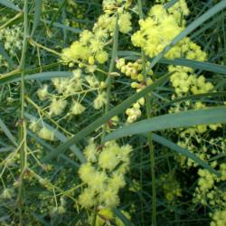 Mimosa à feuilles de saule