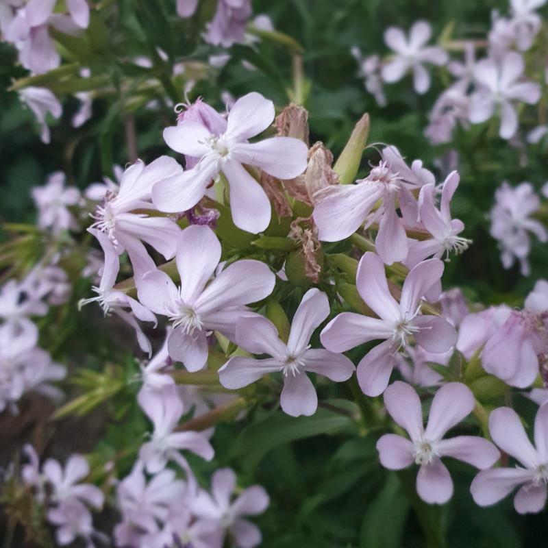 Saponaria officinalis Semences du Puy