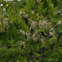 Robinia pseudoacacia Semences du Puy