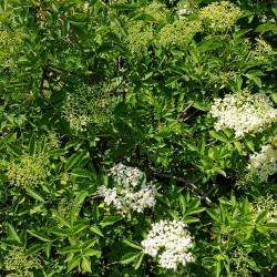 Sambucus nigra Semences du Puy