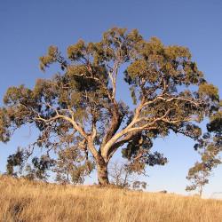 Eucalyptus bridgesiana