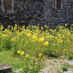 Oenothera biennis Semences du Puy