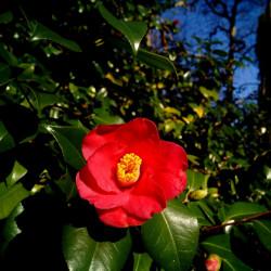Camellia japonica par Patricia Maine Degrave de Pixabay