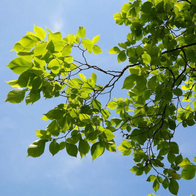 Ulmus parvifolia  par Hans Braxmeier de Pixabay