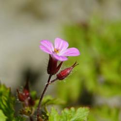 Geranium robertianum par jhenning de Pixabay