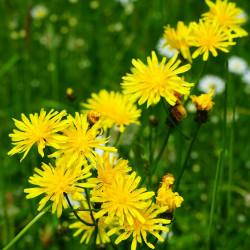 Tragopogon pratensis par Hans Braxmeier de Pixabay