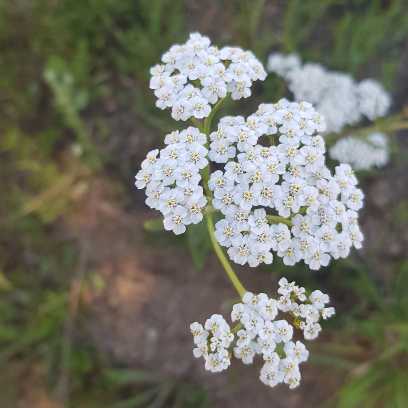 Achillea millefolium Semences du Puy