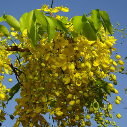Cassia fistula par Bishnu Sarangi de Pixabay