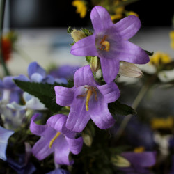 Campanula trachelium par Sonja Kalee de Pixabay