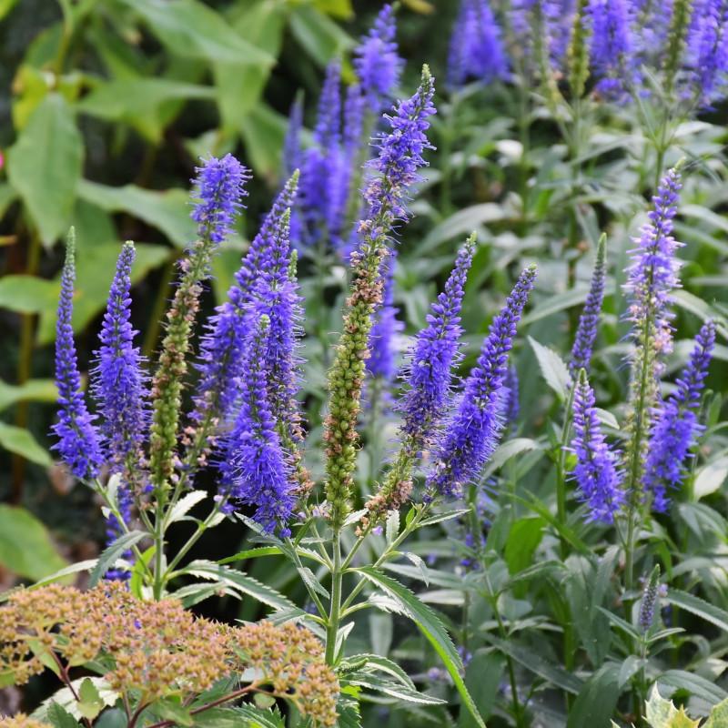 Veronica longifolia bleu par RitaE de Pixabay