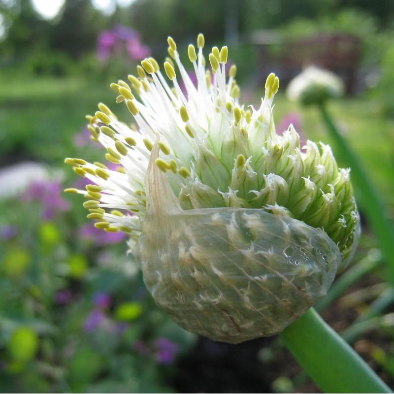 Allium fistulosum par Lena Svensson de Pixabay
