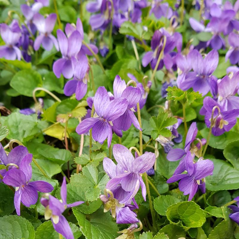 Viola odorata Semences du Puy