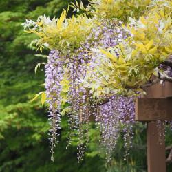 Wisteria floribunda par ftanuki de Pixabay