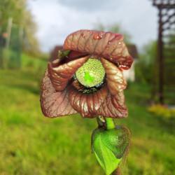 Asimina triloba par cokolatetnica de Pixabay
