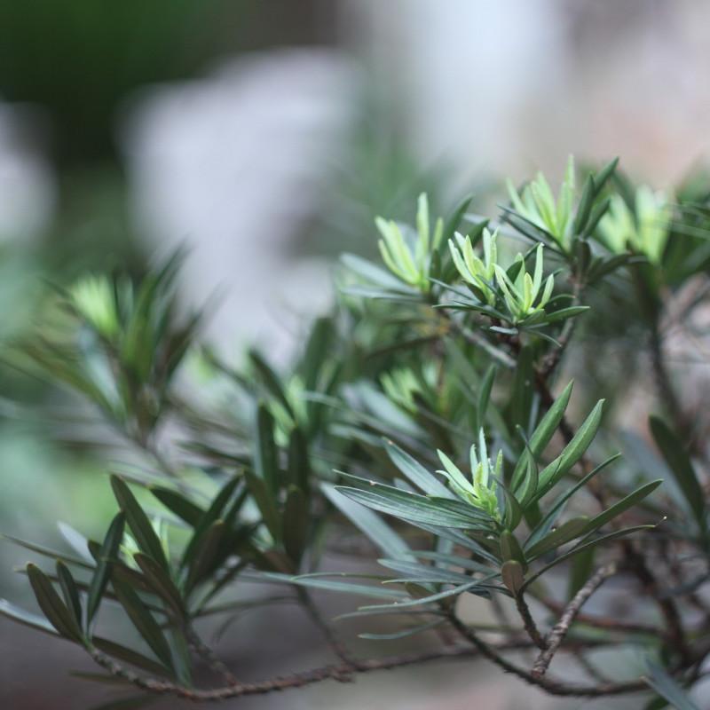 Podocarpus macrophyllus par tayphuong388 de Pixabay