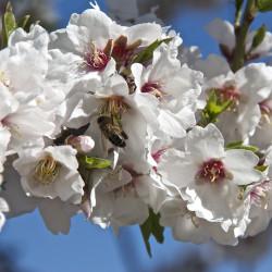 Prunus amygdalus var dulcis par Jose Jesus Herrerias Garcia de Pixabay