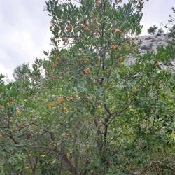 Arbutus unedo Semences du Puy