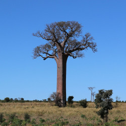 Baobab par JeanFiFou de Pixabay