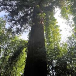 Sequoia sempervirens par Semences du Puy