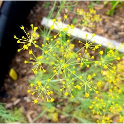 Anethum graveolens par Semences du Puy